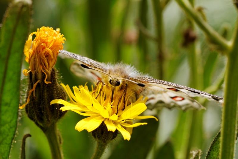 Flore et insectes de Vanoise 684466LelacBlanc033DxO800x600