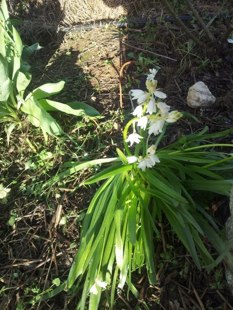 Jacinthe , Hyacinthus - Page 8 68697820160419192143