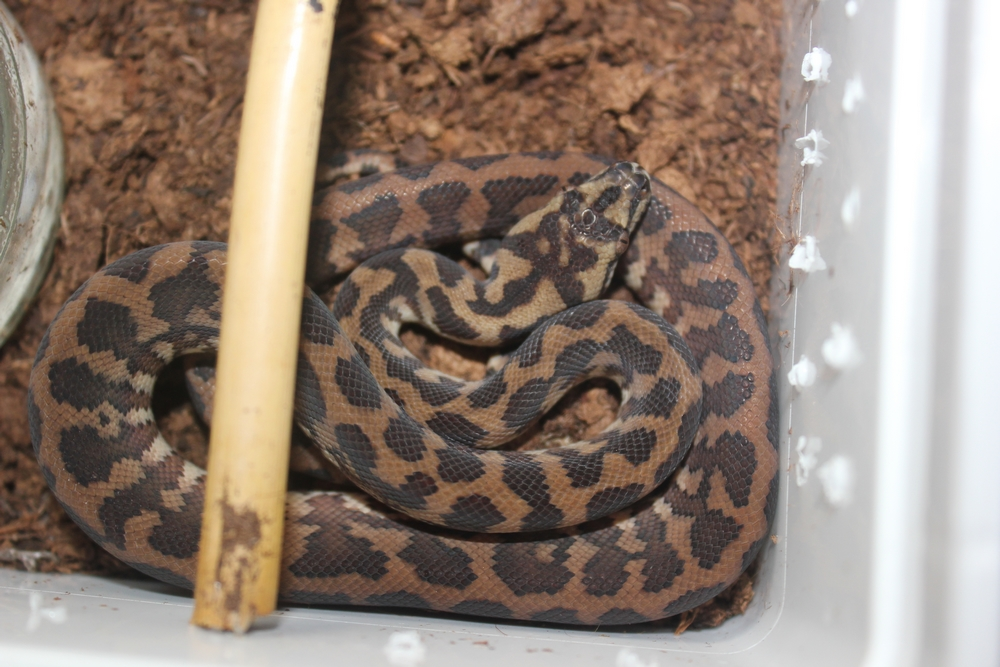 Vends Morelia spilota harrisoni 692099male4
