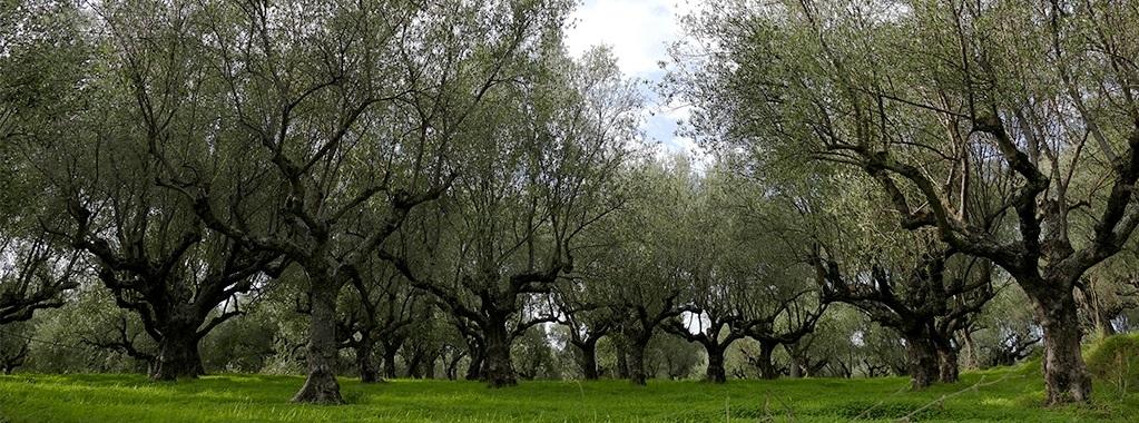 La balade des oliviers 692208171203112151304232a