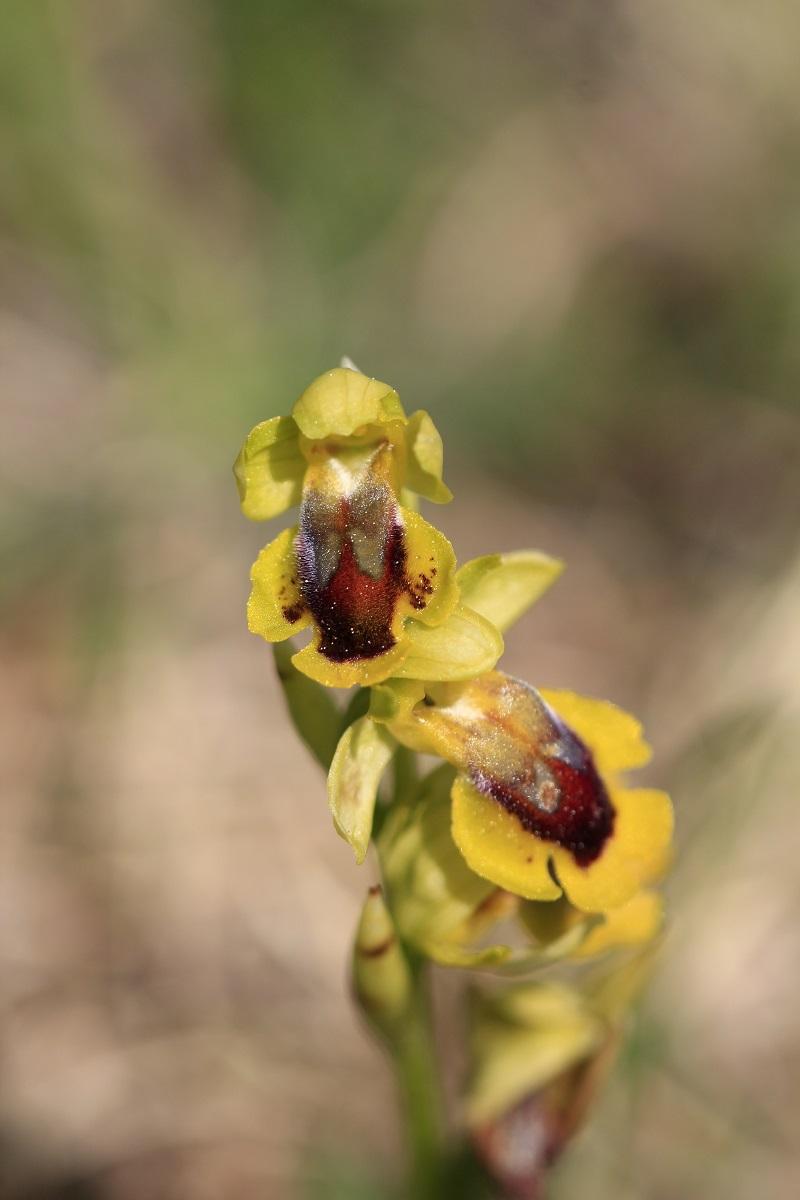 Ophrys lutea ( Ophrys jaune ) 692456MG1086