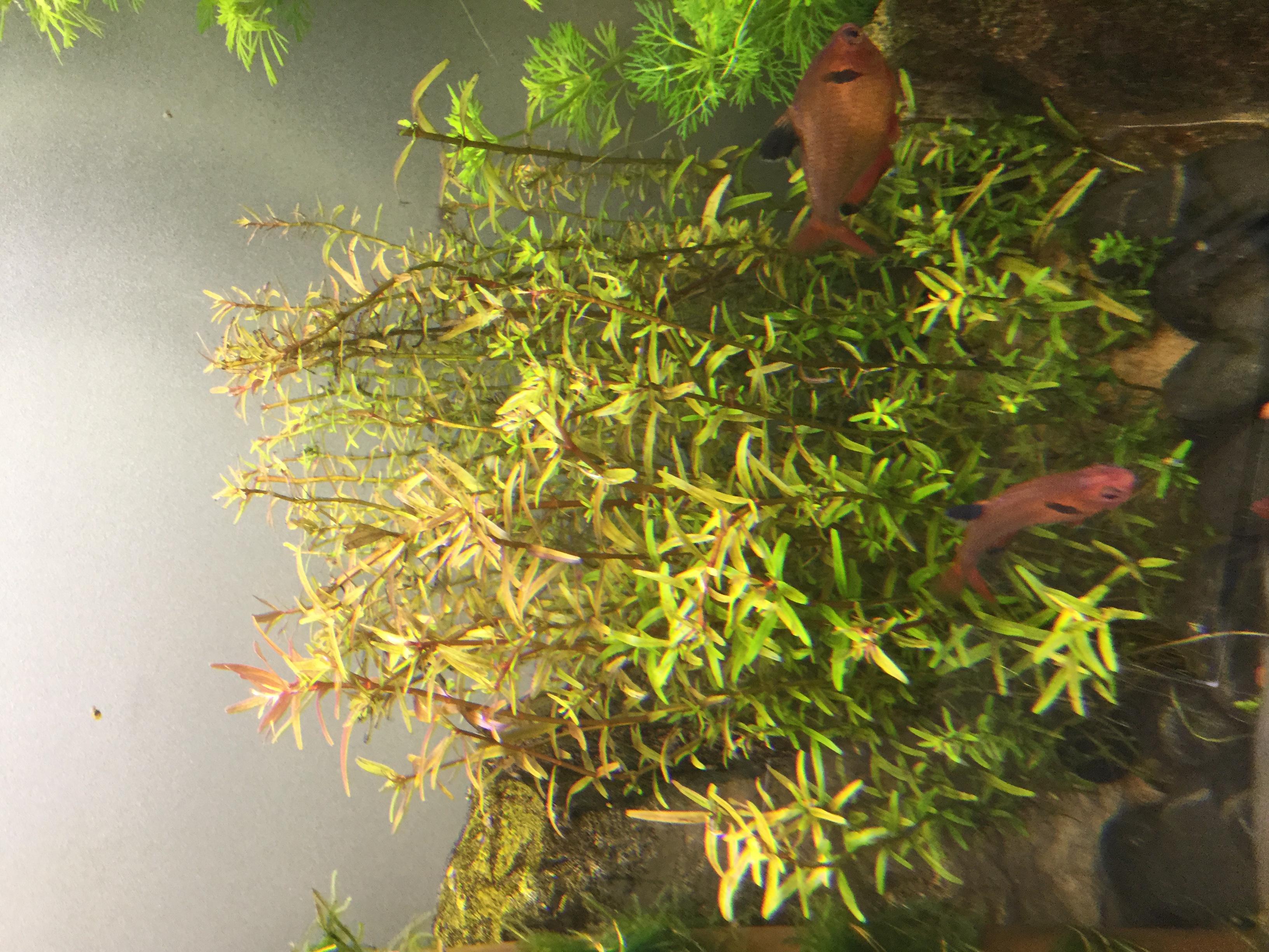 Rotala rotundifolia --> Problème de croissance 696601752
