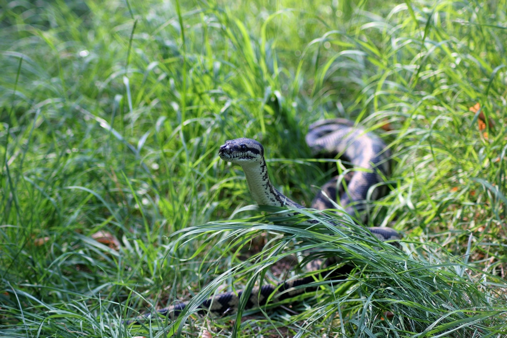Journée internationale des serpents 699077t20154r