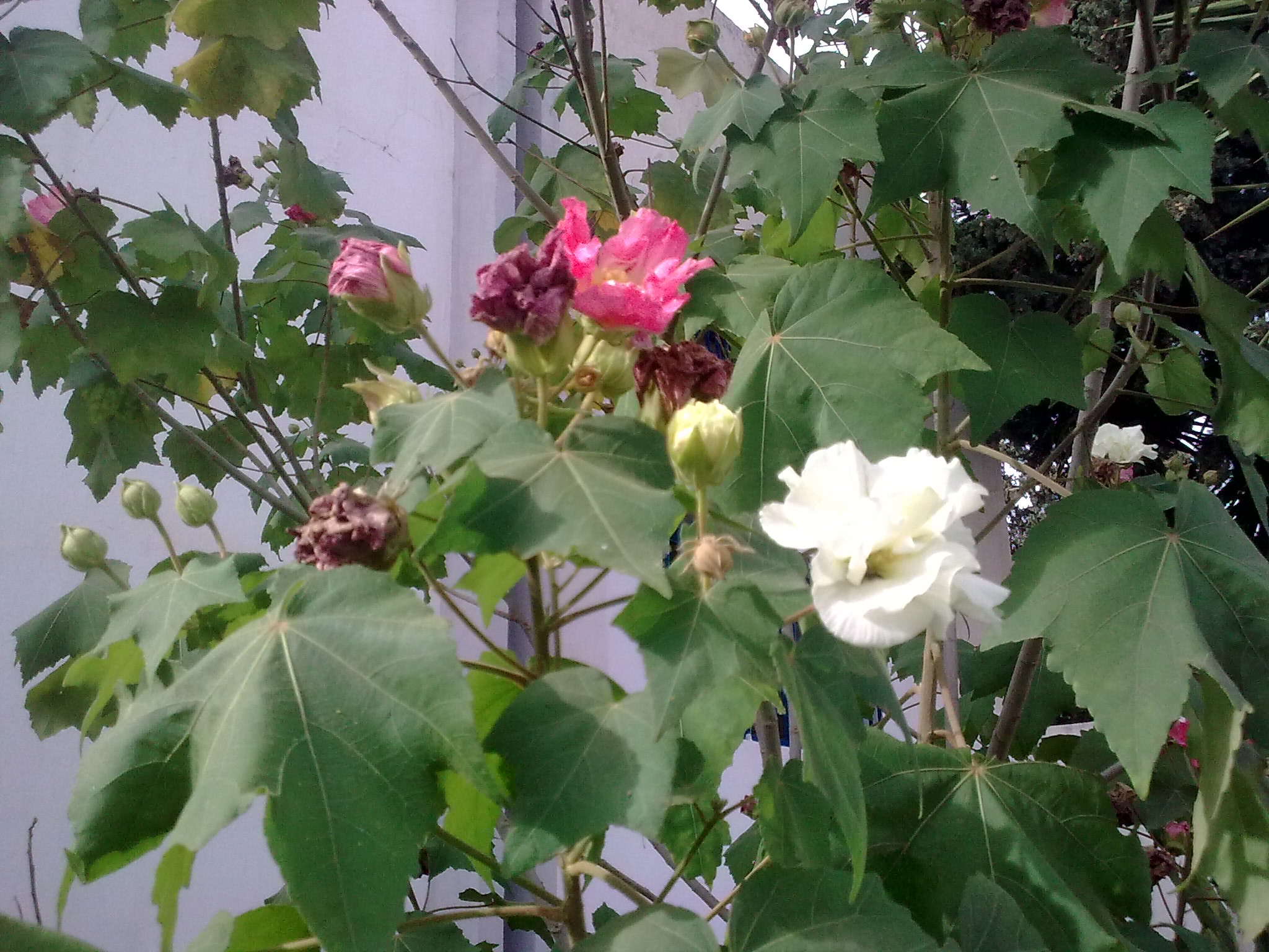 Voici mes quelques hibiscus en fleurs 700158Photo0089