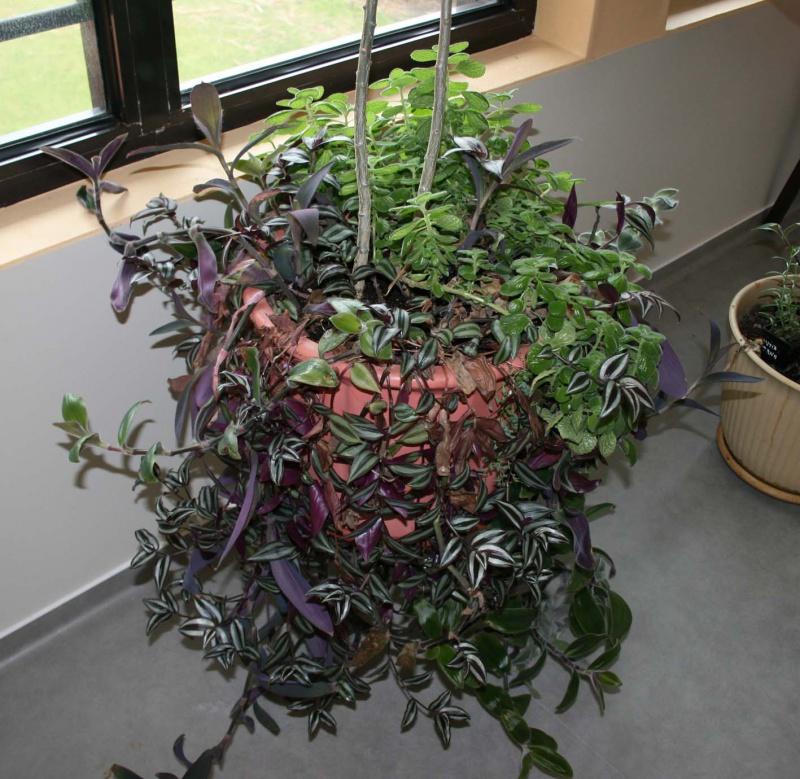 Les succulentes sur mon lieu de travail 702267tradescantiaetplectranthus