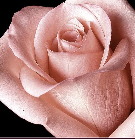 Tubes roses 703276Gibsonlaif