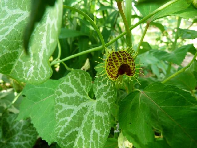 Aristolochia fimbriata 703354P1090017