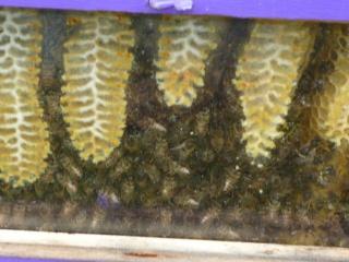 Les auxiliaires du jardinier : l'abeille noire (Apis mellifera mellifera) 710617P1020507