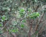 Partie Guérisseur : Les plantes de la Forêt 716628thym