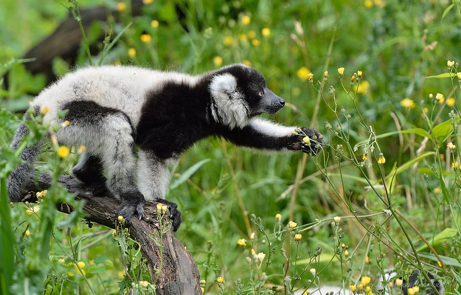 Sortie au Zoo d'Olmen (à côté de Hasselt) le samedi 14 juillet : Les photos - Page 2 720411D4D2666