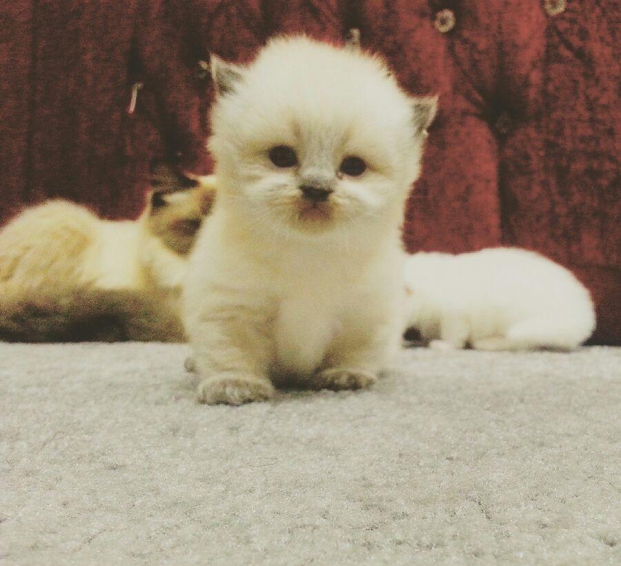 قطط كيتنز للبيع روعه روعه 721298702