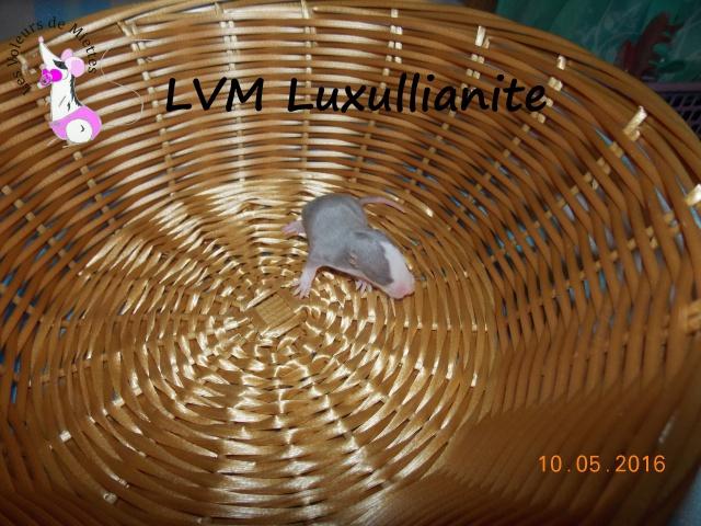 Portée 14: IND Limestone x LVM Kismi Honey 721968femellebleustandard