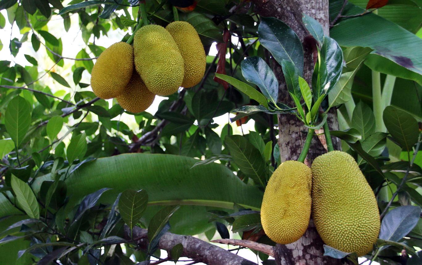 [Fil ouvert] Fruit sur l'arbre 722080IMG0629