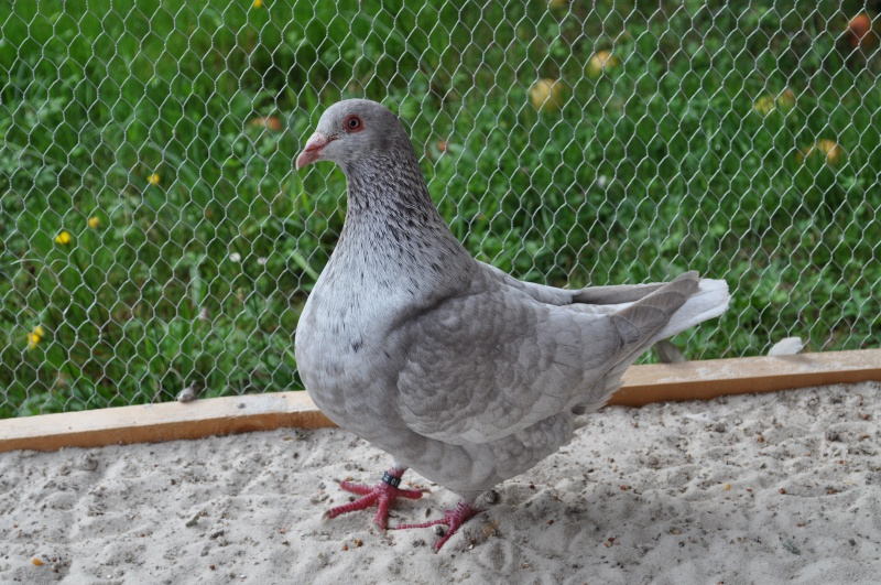 Pigeons texans de couleur - Page 2 725829MALECHARBONNIER