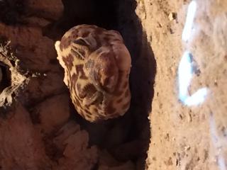 Gecko léopard en très mauvais état !! 726063IMG0863