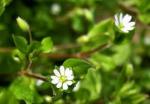 Partie Guérisseur : Les plantes de la Forêt 726191mouronsdesoiseaux