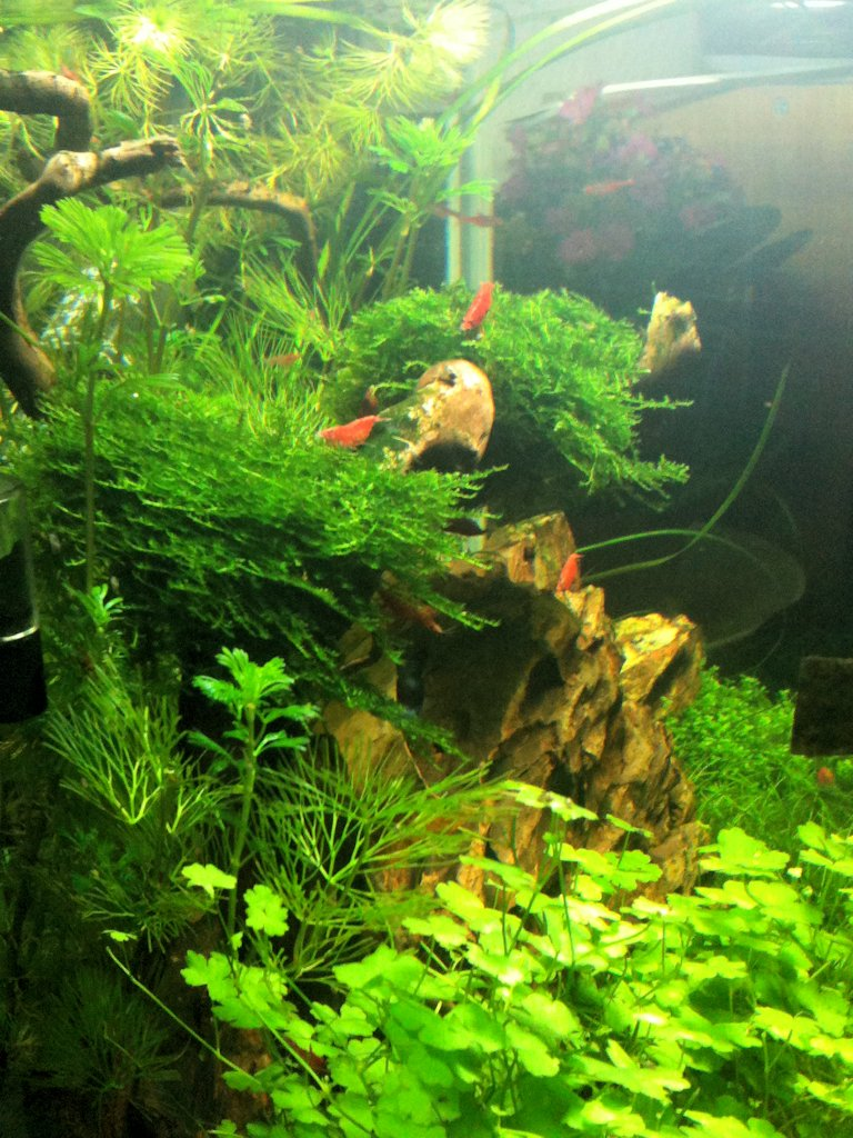 Mon Scaper's Tank 50L Aquascaping - Page 2 726861IMG0461