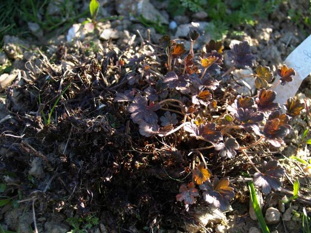 deperissement geranium vivace 731970P4085711