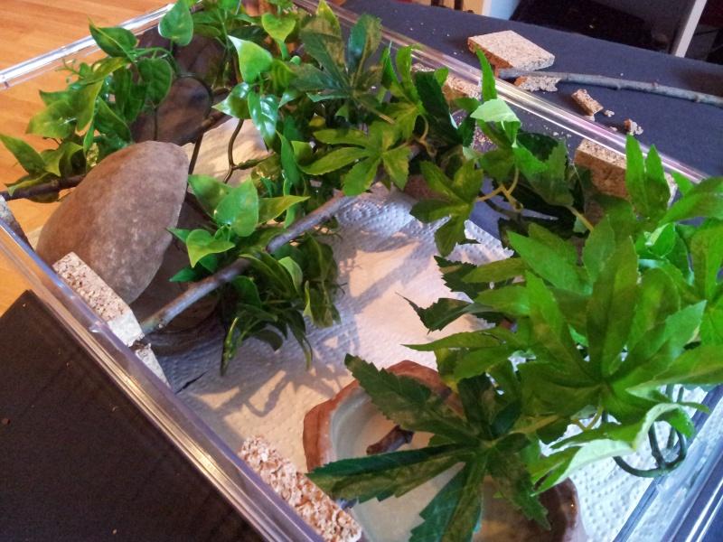 Morelia spilota variegata Irian Jaya [ Mon Wajah ] 73665620120908120448