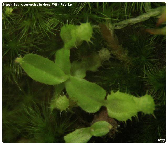 Semis Nepenthes Albomarginata Grey With Red Lip 738976NepenthesAlbomarginataGreyWithRedLip0301126640x480