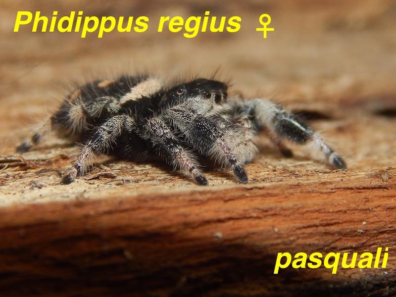 Phidippus regius... 742313RSCN4290