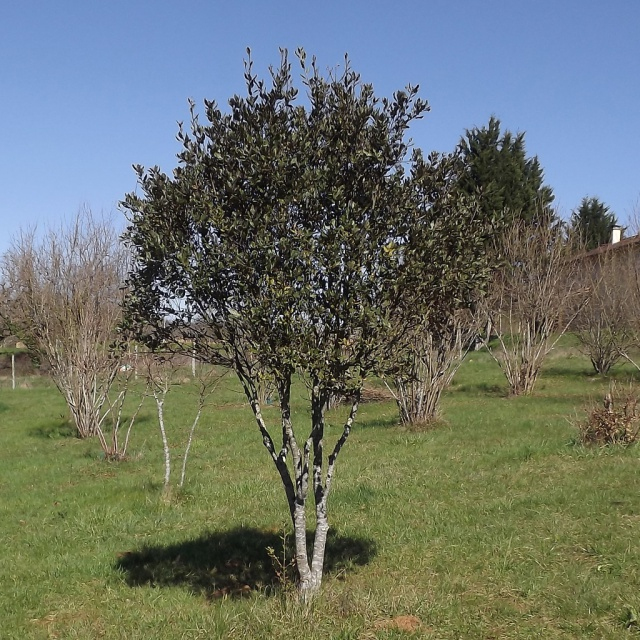 Quercus ilex - chêne vert 743142DSCF5005
