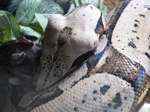 Boa constrictor amarali - Page 2 743493P1020721