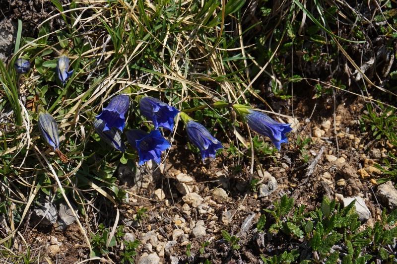 pas de carni mais de jolies plantes alpines ! 745853DSC03436