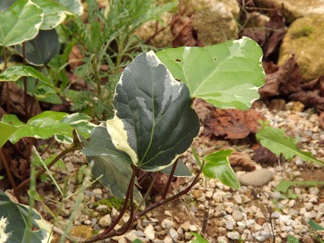 Hedera - lierre - espèces, hybrides horticoles 746026lierre1