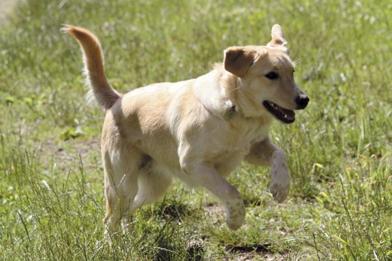 Honey, femelle croisée labrador/chasse disparue le 25/08 de St Benin des bois (58) 749791IMG0846