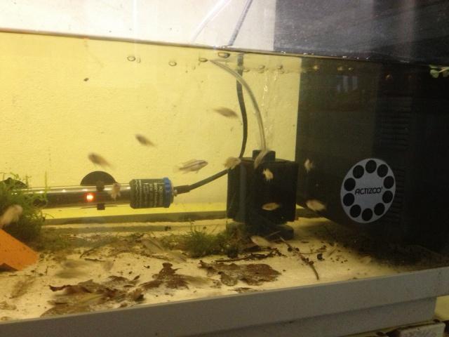 """Pelvicachromis taeniatus """"MOLIWE"""" F1 ADGP 11-32 756828IMG0013"""