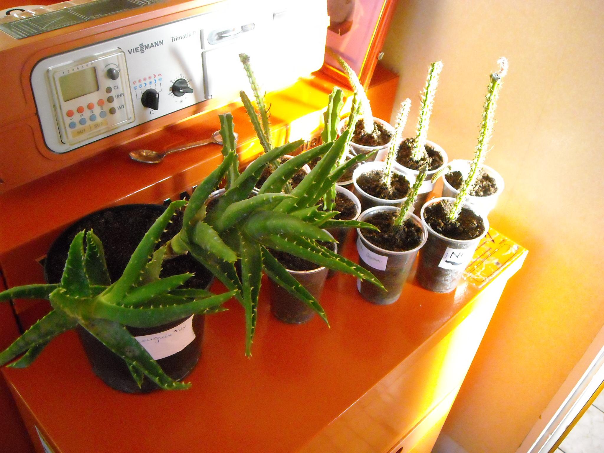 aloé,mais pa sûr,et lequel [Aloe mitriformis] 758043plantesgrasses003