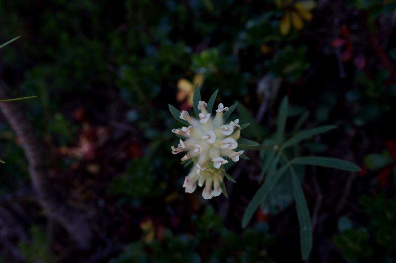 pas de carni mais de jolies plantes alpines ! 762589DSC03354