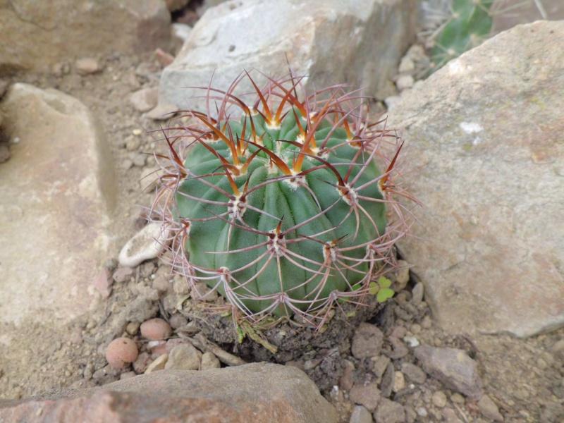 cactus de pô 762646CIMG4213