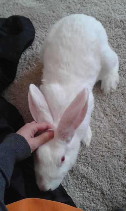 [ADOPTEE] Asae, lapine de laboratoire à adopter 768117Asae1