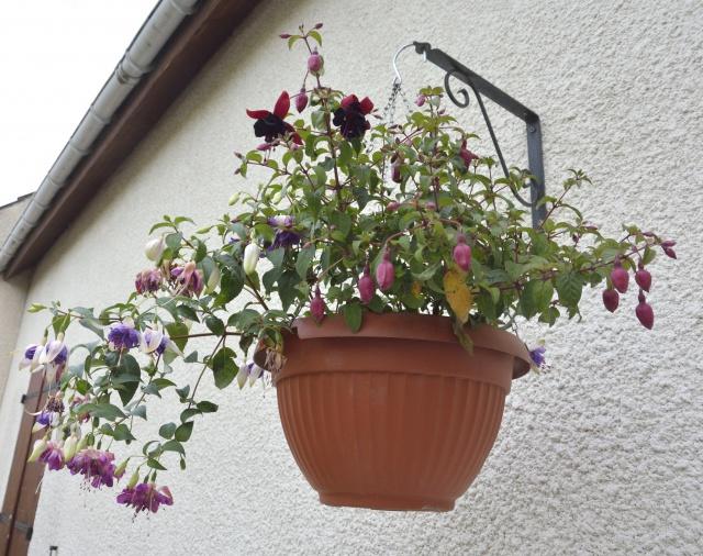 Fuchsia - espèces et variétés frileuses 770138DSC2962