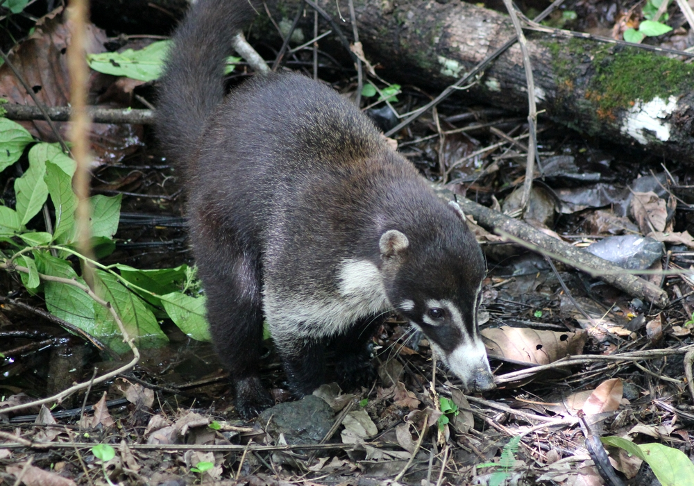 15 jours dans la jungle du Costa Rica 774697coati2r