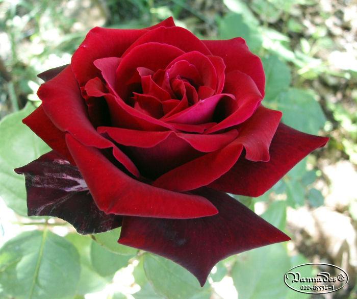 Les Roses Et Moi I