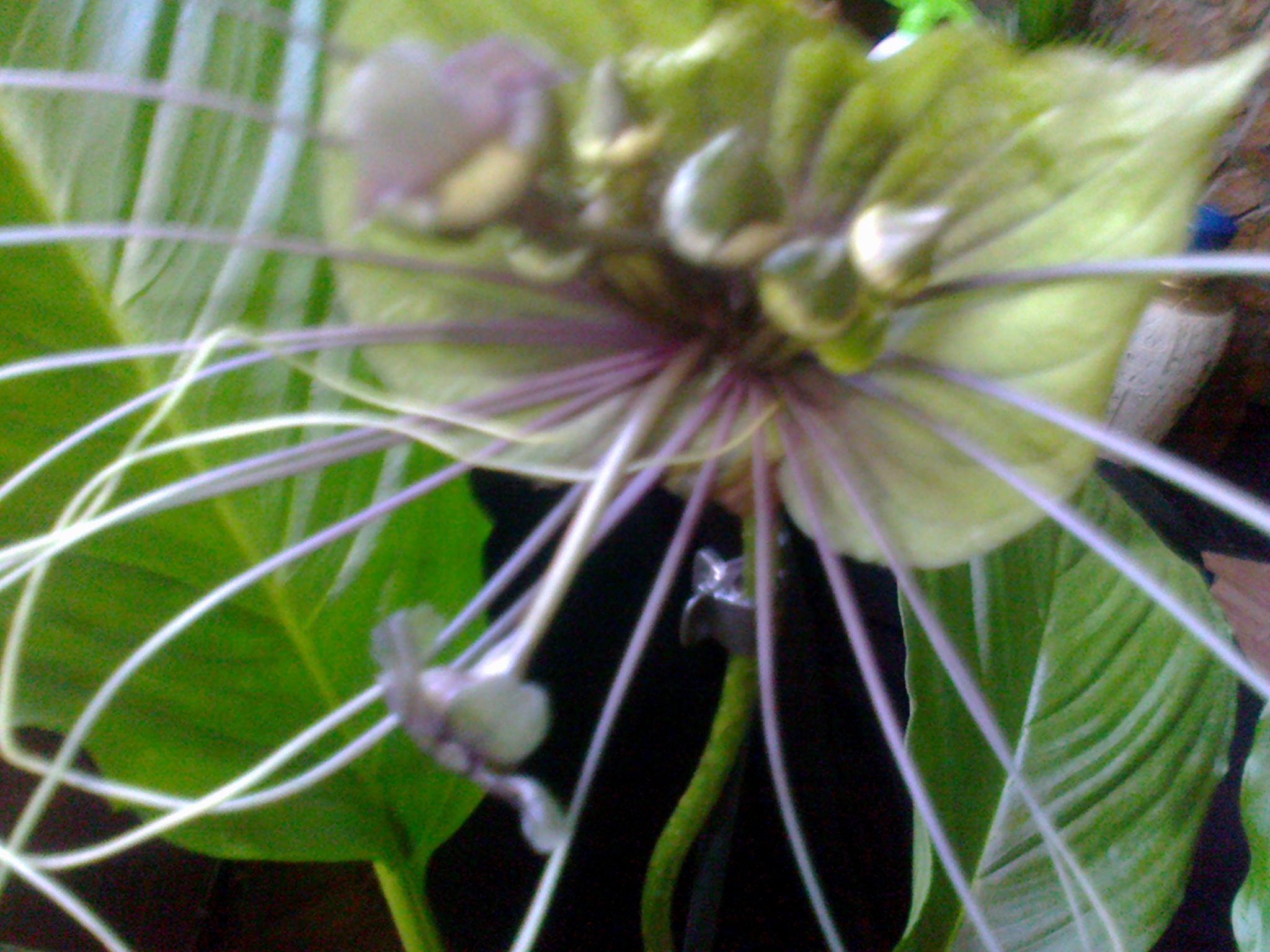 tacca green - Page 3 780506Photo0071
