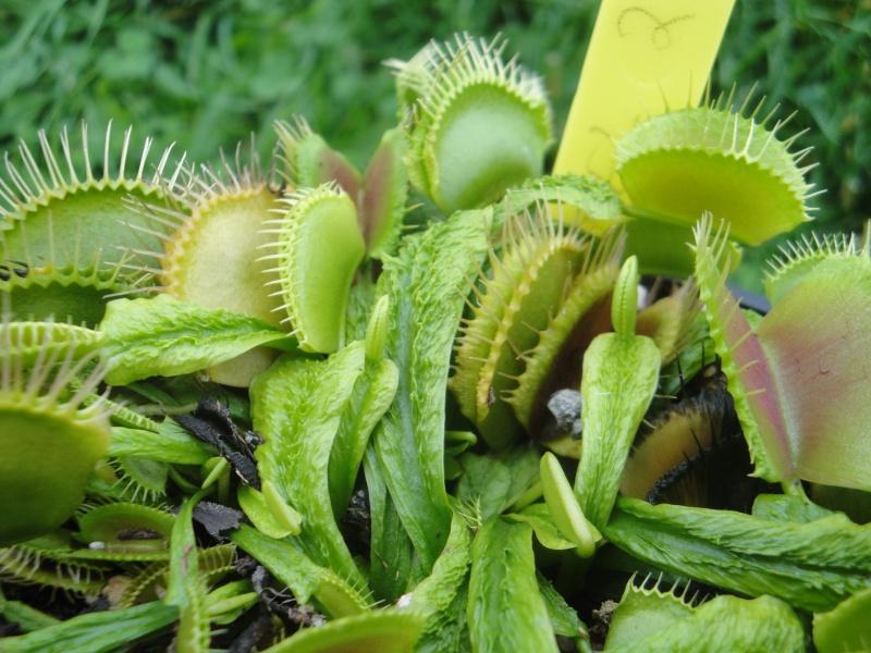 Dionaea Muscipula 'schuppenstiel 2' 790091DSC08641