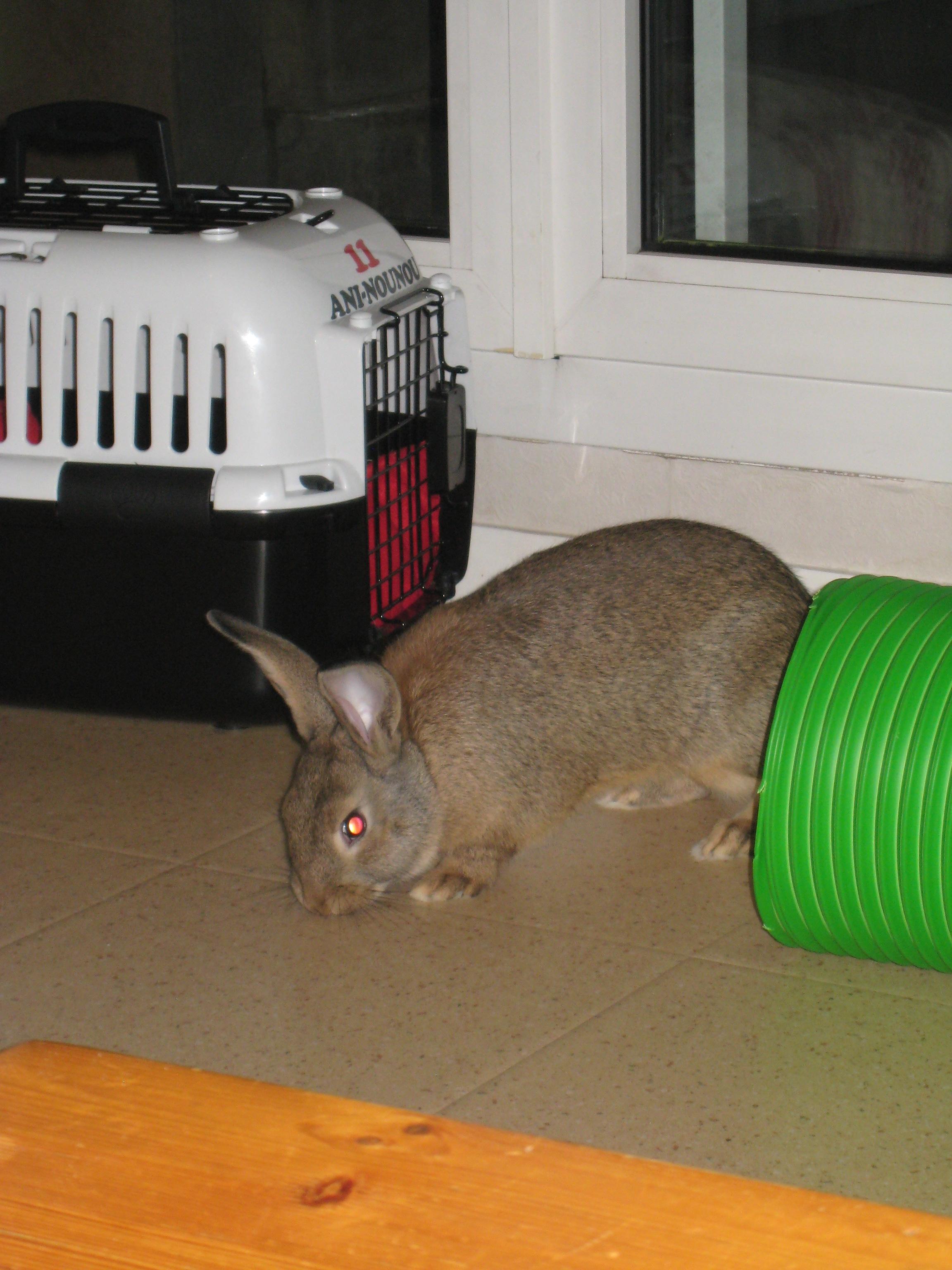 Huggy, - jeune lapin garenne de grande taille [Ani-nounou] 795322Huggy1