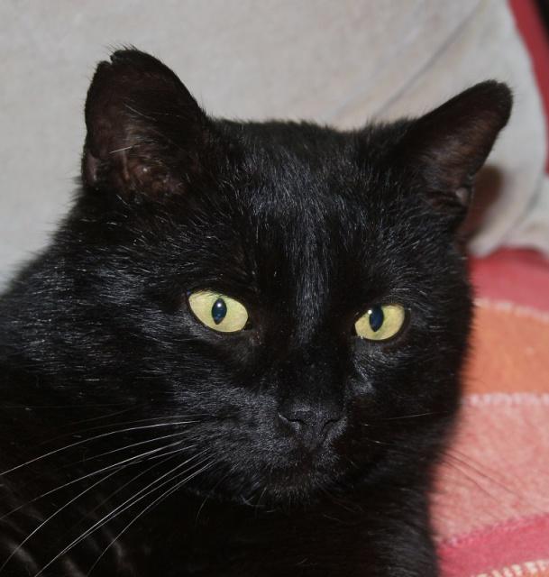 TIZON- mâle adulte noir-(fiv+)- FELIN POSSIBLE- à adopter. 798387tizon3
