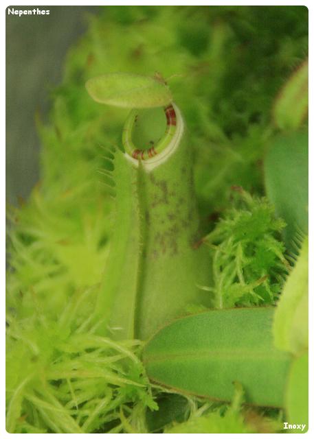 Quel nom donner pour cette Nepenthes Albomarginata ? 802600NepentheAlbomarginataDark640x4802