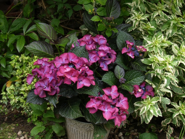 hortensia black diamonds 804748P6182280