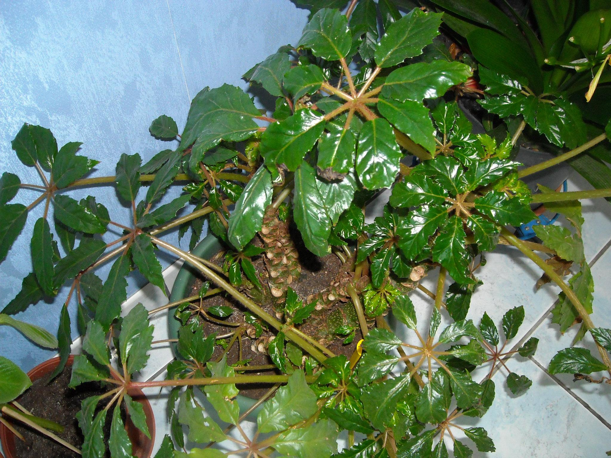 Bégonia carolineifolia - Voilà le nouveau bégo, gentiment offert par le monsieur... 804903carolineifolia001