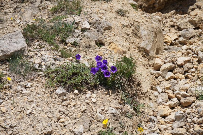 pas de carni mais de jolies plantes alpines ! 805409DSC03422
