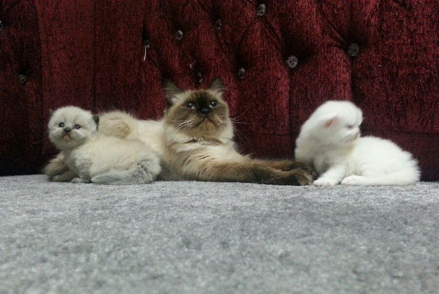 قطط كيتنز للبيع روعه روعه 805555661