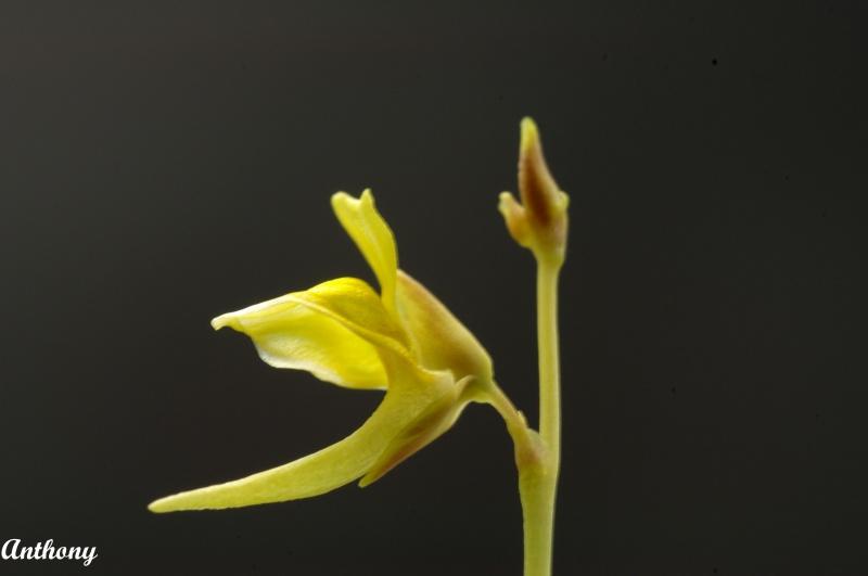 Utricularia Laxa 806818IMGP4615