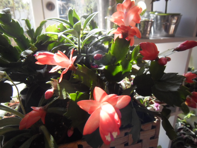 Floraisons Schlumbergera (Cactus de Noël) 80687361s1