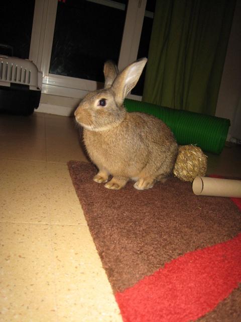 Huggy, - jeune lapin garenne de grande taille [Ani-nounou] 807680Huggy5
